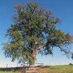 Grusza (drzewo)
