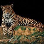 Jaguar (dziki kot)
