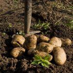 Kopać ziemniaki