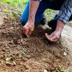 Sadzić warzywa