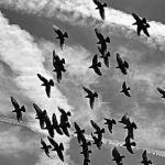 Stado gołębi